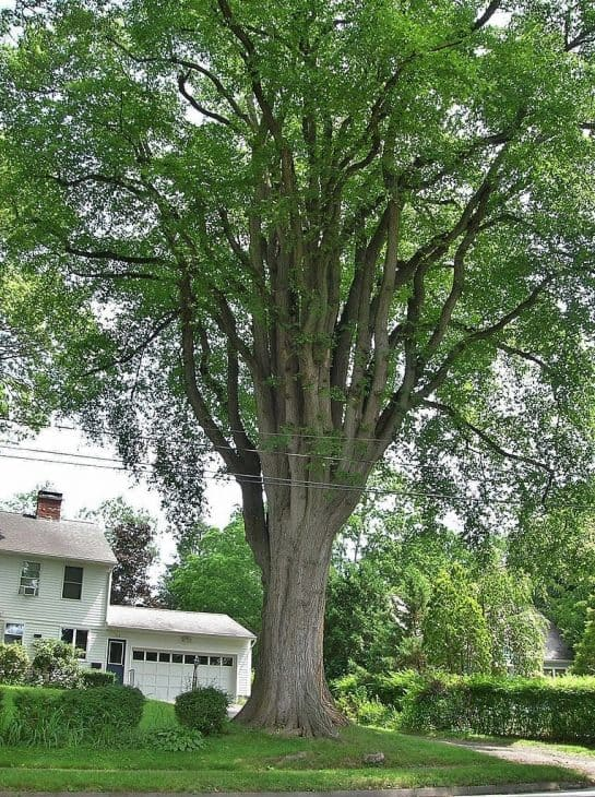 Grayson Elm Tree
