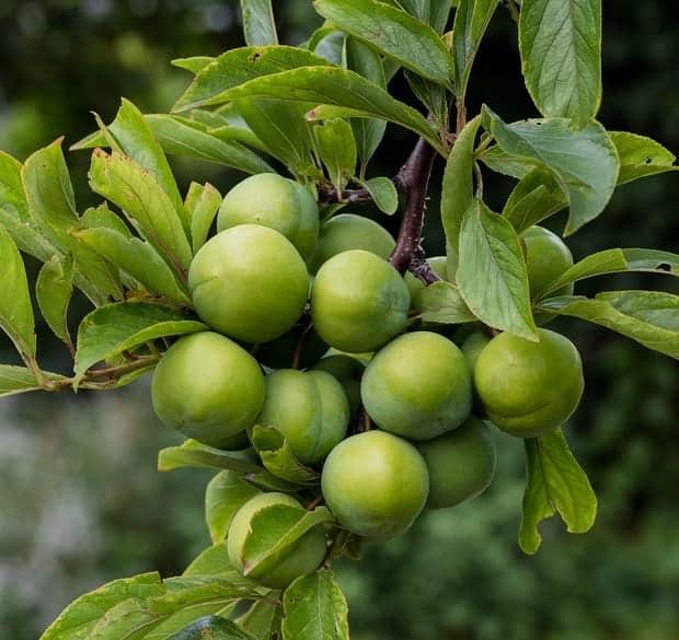 Green-Egg-Sour-Plum-Tree