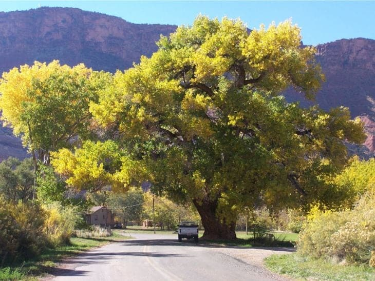 Huge Cottonwood Tree in Castle Valley Utah near Moab