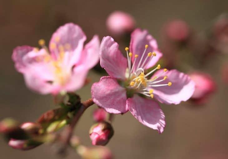 Japanese-bush-cherry-Prunus-japonica