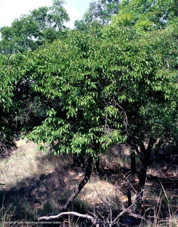 Murray's-Plum-Tree-Prunus-murrayana