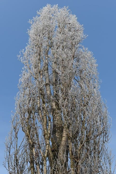 Poplar Tree in winter