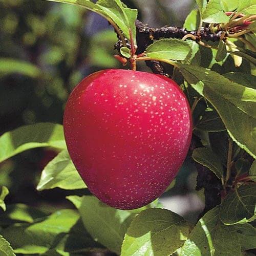 Prunus-domestica-Superior
