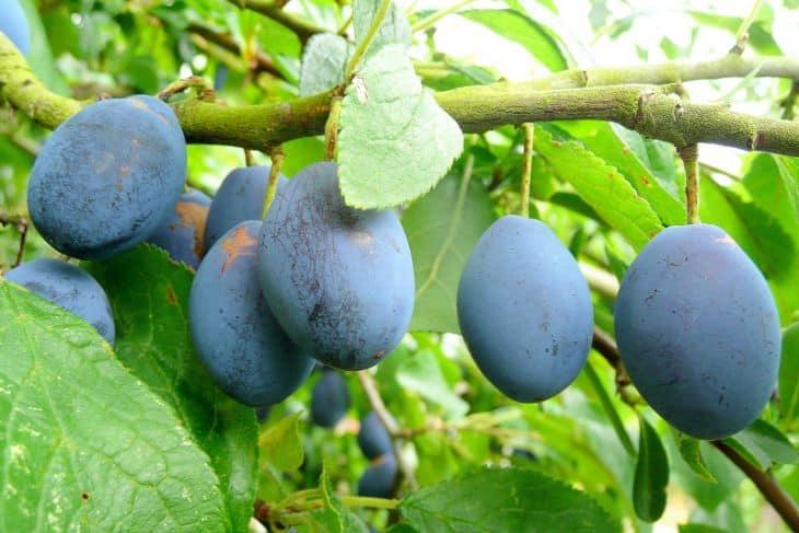 Ripe-Damson-Fruit