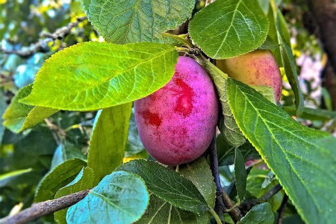 Ruby-Sweet-Plum-Tree