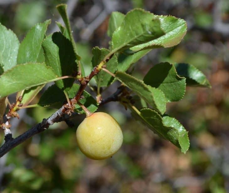 Sierra-plums-Prunus-subcordata