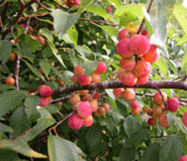 Thicket-Plum-Tree-Creek-Plum-Prunus-Rivularis
