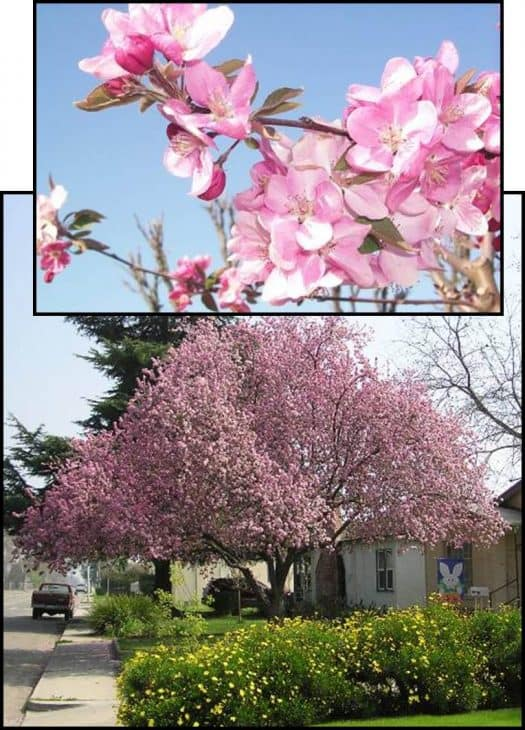 Hopa-Flowering-Crabapple-Tree