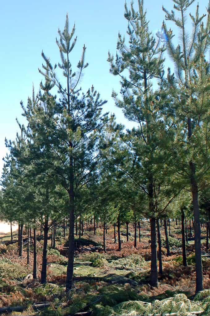 Pitlolly-Pine-Trees