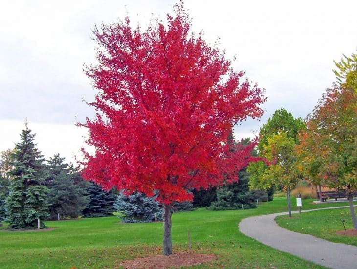 Red-Maple-Acer-Rubrum