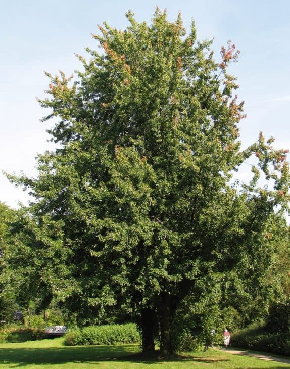 Silver-Maple-Acer-saccharinum
