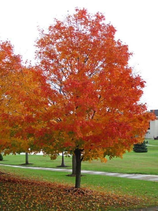 Sugar-Maple-Trees