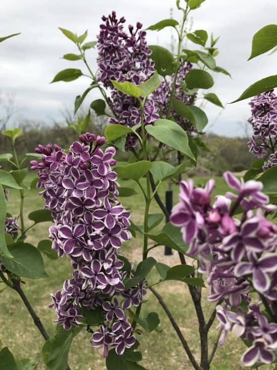 Syringa-vulgaris-Sensation-Lilac-Tree