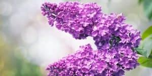 lilac-tree-flowers