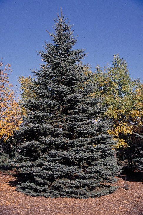 Colorado-Spruce-Tree