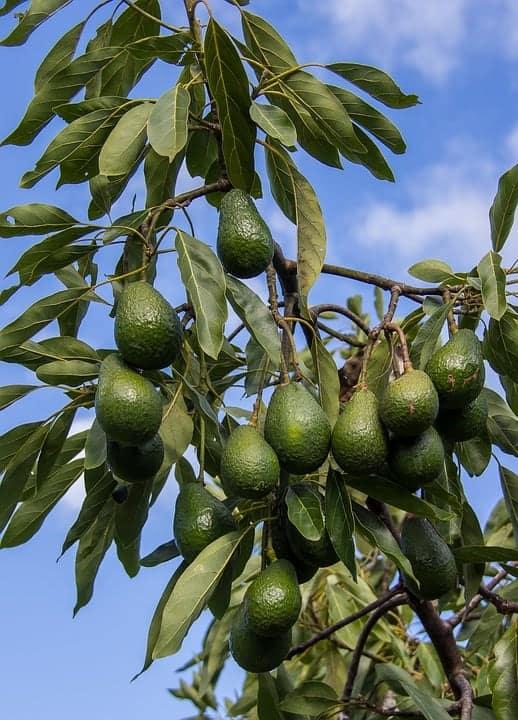 Hass-Avocado-Tree