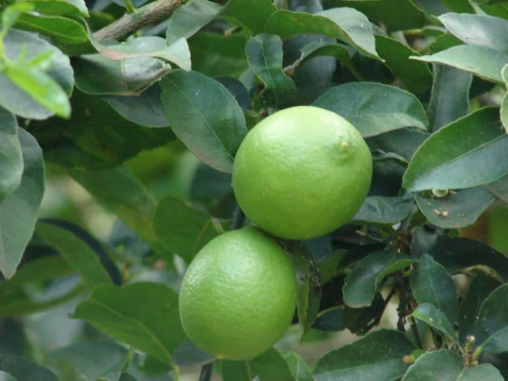 Mexican-Lime-Tree-and-Fruit