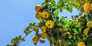 Yellow-Peach-Tree