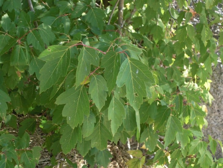 Box Elder Maple acer negundo summer leaves