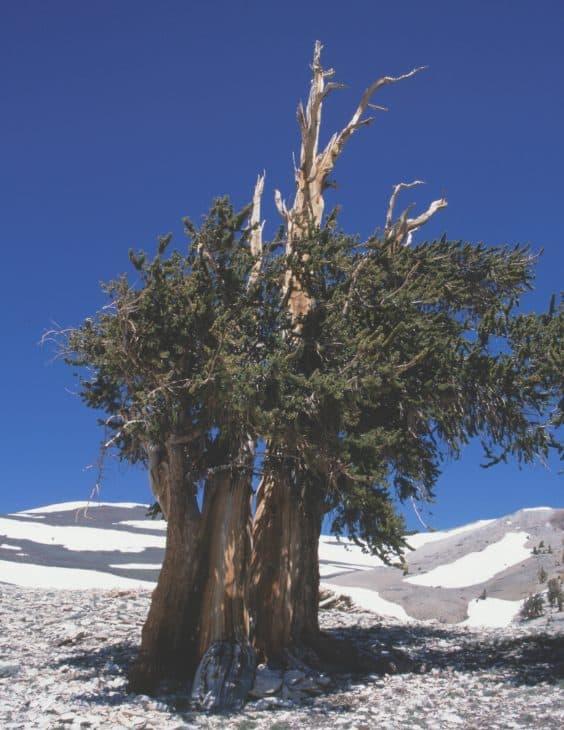 Bristlecone Pine Pinus Longaeva