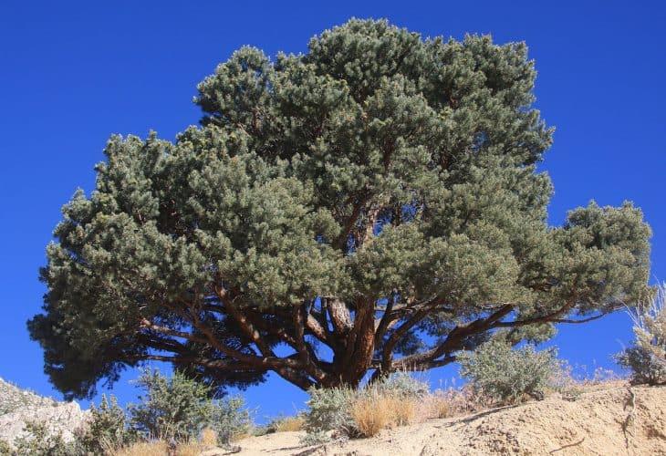 Nut Pine or Pinyon pine Pinus monophylla