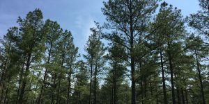Pine forest in Virginia State
