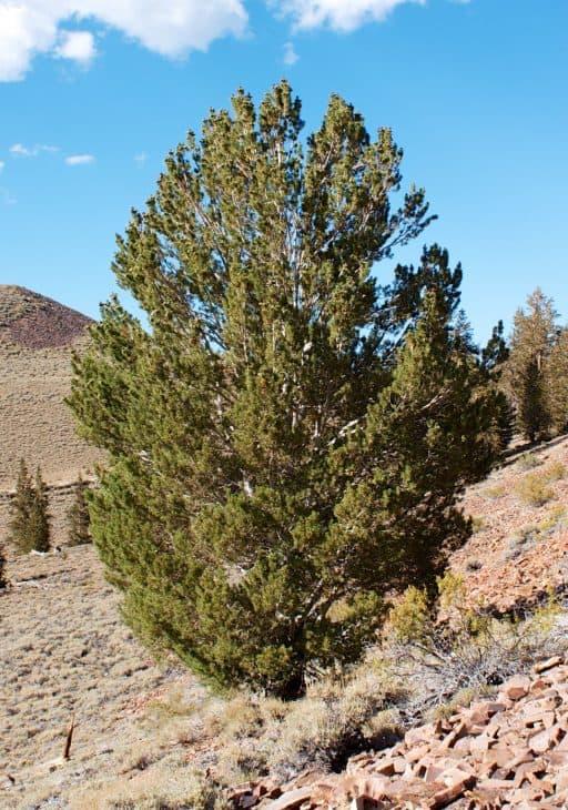 Pinus flexilis Limber Pine