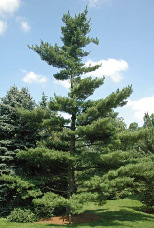 Pinus strobus Eastern White Pine in Dawes Arboretum