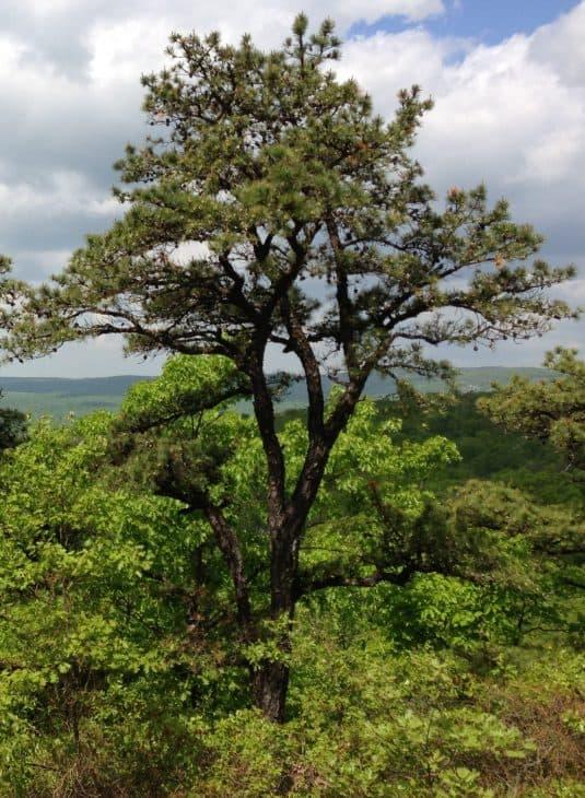 Pitch-Pine-Pinus-Rigida-1
