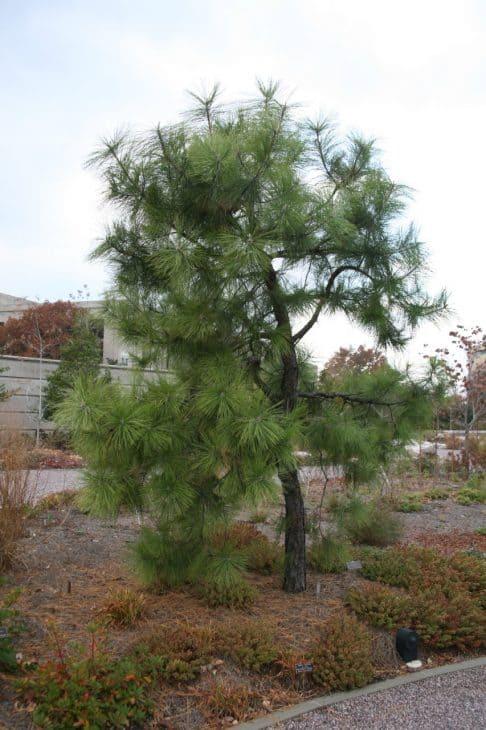 Pond-Pine-Pinus-serotina