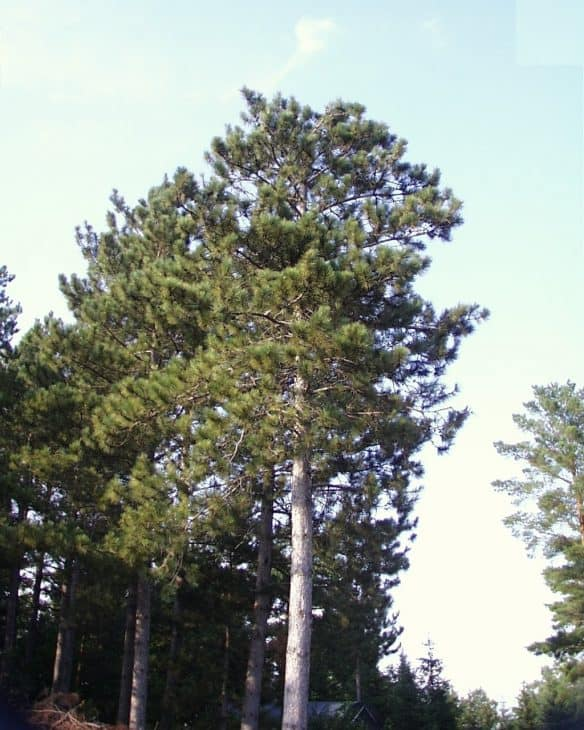 Red-Pine-Pinus-Resinosa