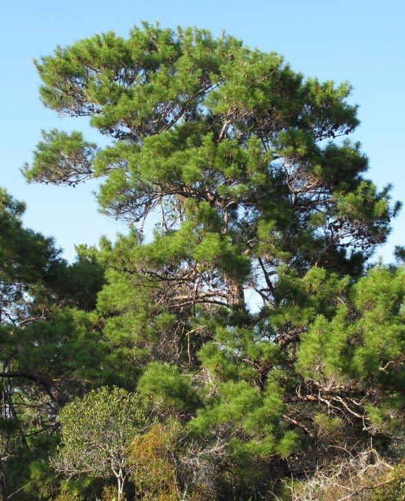 Sand Pine Pinus Clausa