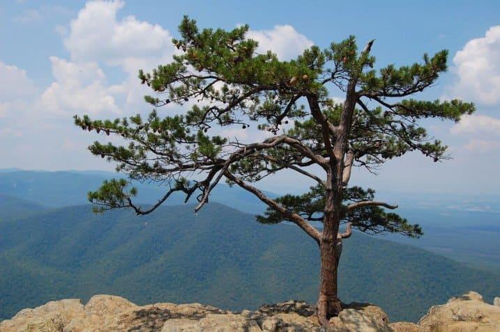 Table Mountain Pine Pinus pungens