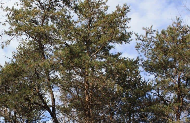 Virginia pine Pinus virginiana 1