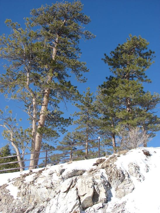 pinus ponderosa in winter