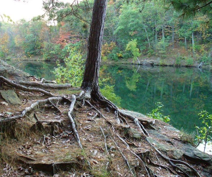 red pine Pinus resinosa roots